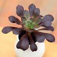景禾多肉植物黑法师办公室室内桌面绿植盆栽花卉防辐射