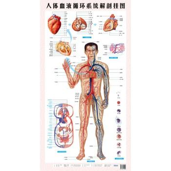 医学人体血液循环系统解剖挂图 心脏血管动脉静脉医用 保健图图片