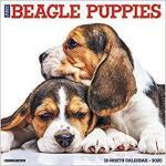 【预订】Just Beagle Puppies 2020 Wall Calendar (Dog Breed Calen