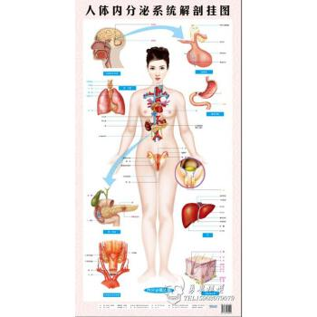 人体系统_医用人体内分泌系统解剖挂图 人体八大系统 生殖解剖图 保健图