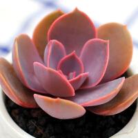 景禾 丁香多肉植物多肉办公室室内植物绿植创意花卉盆栽组合进口不含盆土
