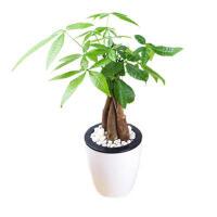维尼小盆栽精美辫子发财树 带懒人吸水盆招财树盆栽 水培植物办公绿植