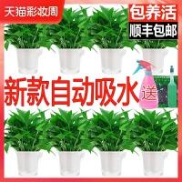 除甲醛净化空气绿萝盆栽室内植物水培花卉绿植绿箩新房家用吸甲醛